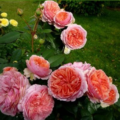 Роза чайно-гибридная Чиппендейл ОКС