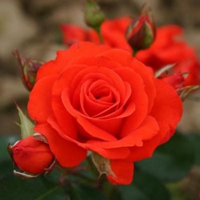 Роза флорибунда Корус С4