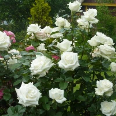 Роза флорибунда Ла Палома 85 С4