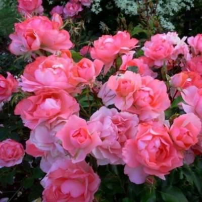 Роза флорибунда Сады Франции С4