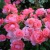 Роза флорибунда Сады Франции ОКС
