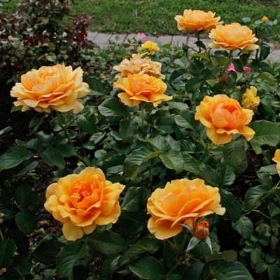 Роза флорибунда Амбер Квин С4 ПРЕДЗАКАЗ