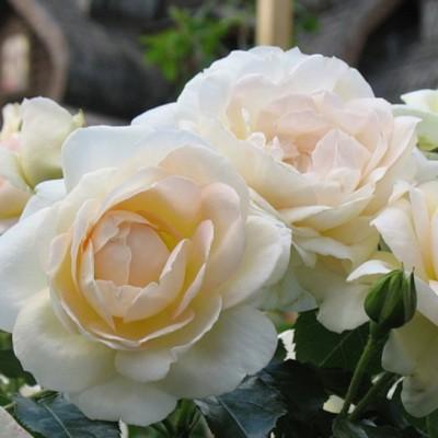 Роза флорибунда Мария Антуанетта ОКС
