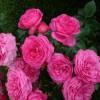 Роза флорибунда Баронес С4