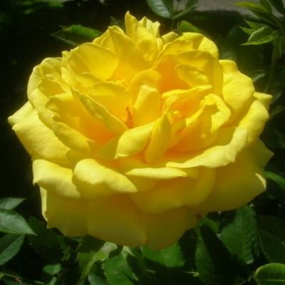 Роза флорибунда Диана С4