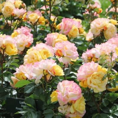 Роза флорибунда Лампион С4