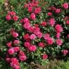 Роза флорибунда Сангрия С4