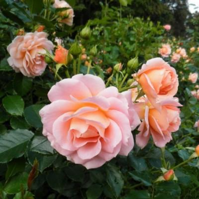Роза флорибунда Гейша ОКС