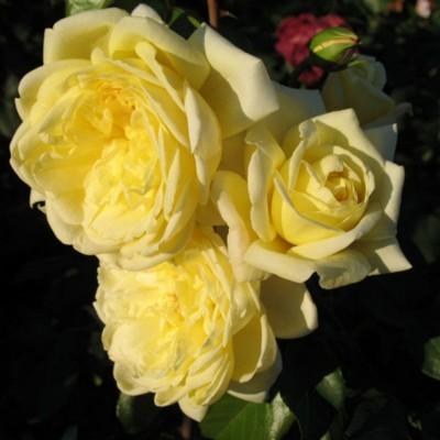 Роза плетистая Казино С4