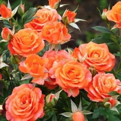 Роза спрей Оранжевая ОКС