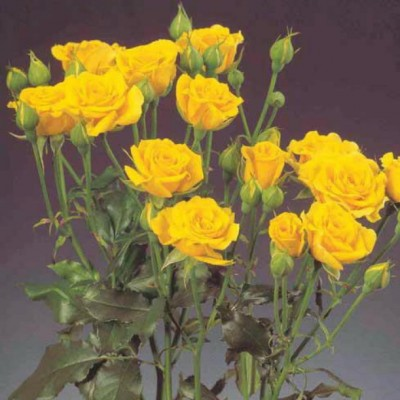 Роза спрей Желтая ОКС