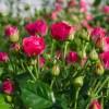 Роза спрей Малиновая С4