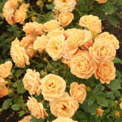 Роза миниатюрная Клементина ОКС