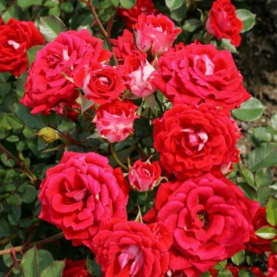Роза миниатюрная Майди С4