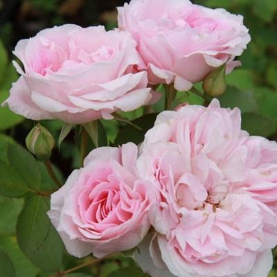 Роза канадская парковая Моден Блаш С4
