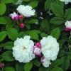 Роза канадская Луиза Багнет С4 ПРЕДЗАКАЗ