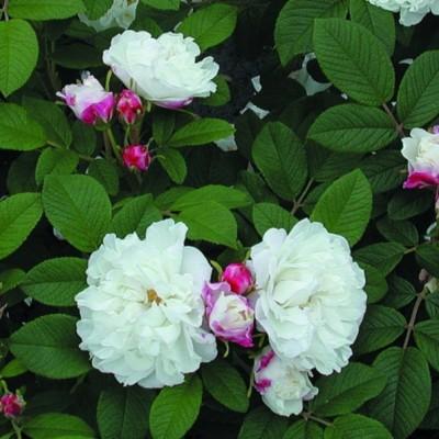 Роза канадская Луиза Багнет С4