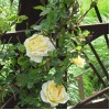 Роза канадская парковая Джей Пи Коннэл С4 ПРЕДЗАКАЗ