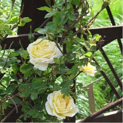 Роза канадская парковая Джей Пи Коннэл С4