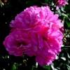 Роза канадская парковая Джон Кэбот С4
