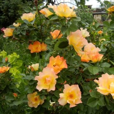 Роза канадская парковая Моден Санрайз С4 ПРЕДЗАКАЗ