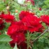 Роза канадская парковая Гуртберт Грант С4