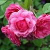 Роза канадская парковая Моден Руби ОКС