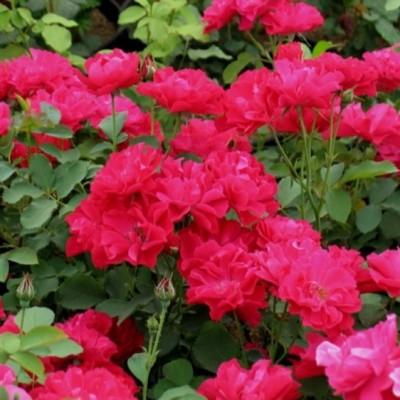 Роза канадская парковая Моден Аморетт С4