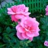 Роза канадская Дэ Монтервиль С4