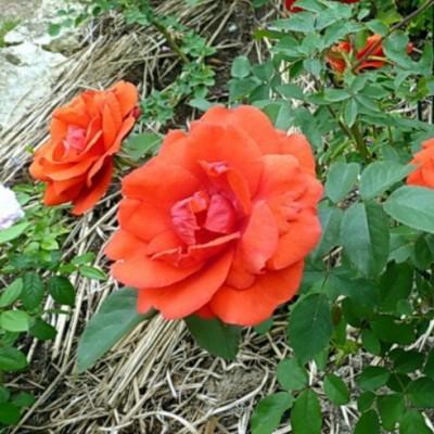 Роза канадская парковая Моден Файрглоу С4