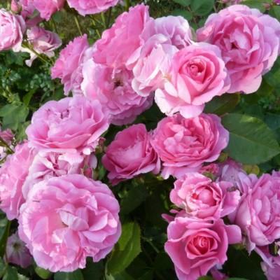 Роза канадская парковая Моден Сентенниал С4 ПРЕДЗАКАЗ