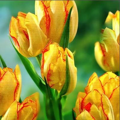 Тюльпан многоцветковый Aquilla 5 шт/уп.