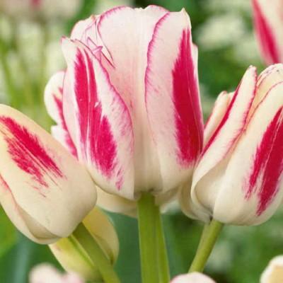 Тюльпан многоцветковый Candy Club 5 шт/уп.