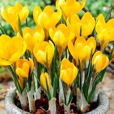 Крокус Golden Yellow 10 шт/уп