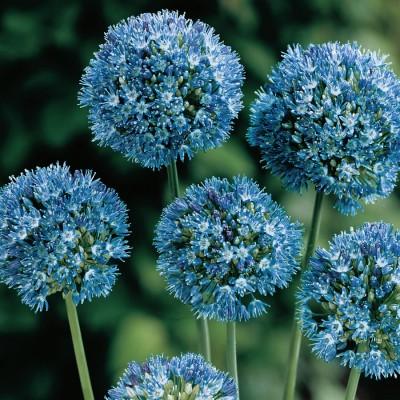 Аллиум (Лук декоративный) голубой 10 шт/уп