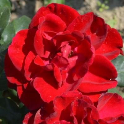 Роза чайно-гибридная Ред Сан C4