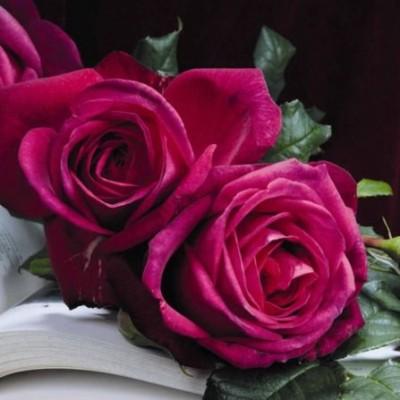 Роза чайно-гибридная Иоганн Вольфганг фон Гете C4