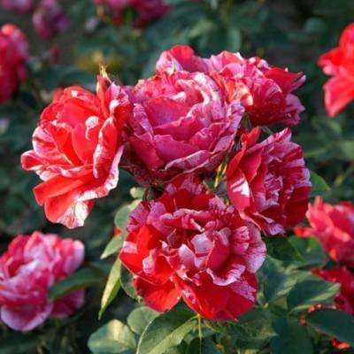 Роза чайно-гибридная Анри Матисс C4