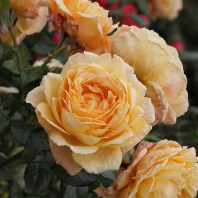 Роза чайно-гибридная Капри C4