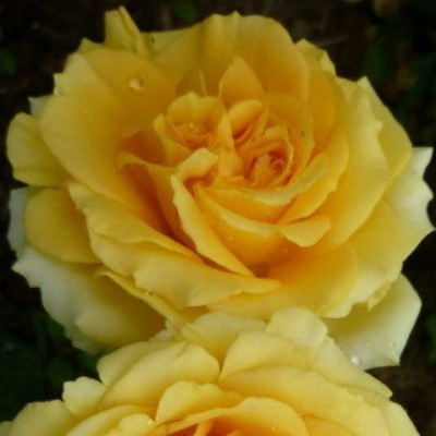 Роза чайно-гибридная Капучино C4
