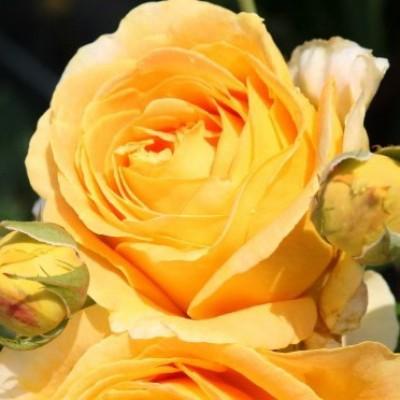 Роза чайно-гибридная Кэндллайт C4