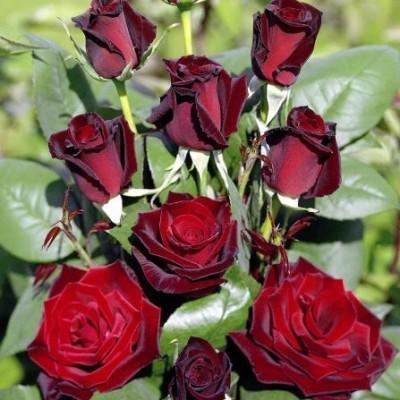 Роза чайно-гибридная Баркароле C4 ПРЕДЗАКАЗ