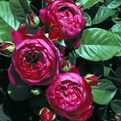 Роза чайно-гибридная Аскот C4
