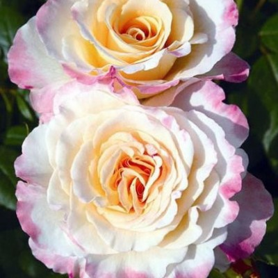 Роза чайно-гибридная Акварель C4