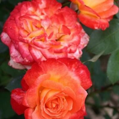 Роза флорибунда Пигаль 85 C4
