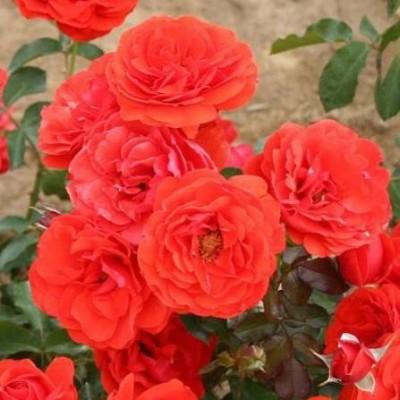 Роза флорибунда Ред Ривер C4