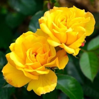 Роза флорибунда Голдмари C4