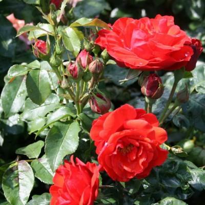 Роза флорибунда Корус C4