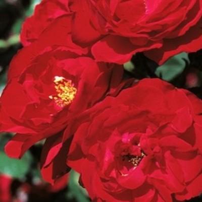 Роза шраб Ульмер Мюнстер C4