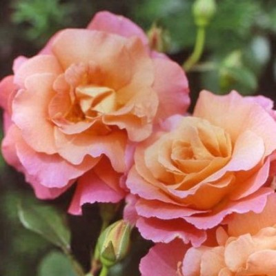 Роза шраб Фрайзингер Моргенроте C4